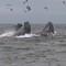 HumpbacksFeeding_007