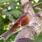 Sabiá laranjeira - Turdus rufiventris