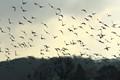 Pidgeons In Flight