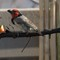 Black-collared Barbet2