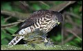 Feasting Sparrow Hawk