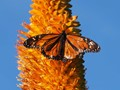 Monarch Butterfly on Agave Bloom