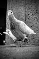 Alakea Pigeon