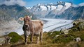 Cow in Aletsch Arena