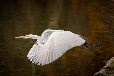 White Heron 1