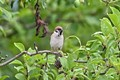 Sparrow with branches