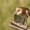 DGB_7701_Barn Owl
