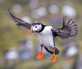 P for Puffin