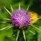 Bee on Thorny Flower: