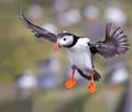 Flight of a Puffin