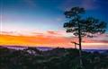 Dalat pine