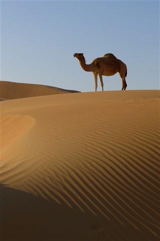 A Camel for Jo