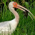 The Ibis and the Crawdad