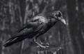 Lustrous Black  Raven