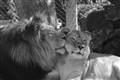 Cuteness Lion Lioness (HM)