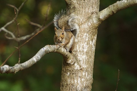 CanonFD300mm4.0L@4.0+ 2X Tele-Converter Squirrel 1383
