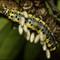 Parasitised Caterpillar