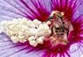 Bee nibbling in hibiscus flower