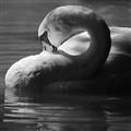 Sunlit Swan II