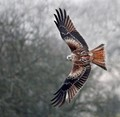 Red Kite, Grey Day.
