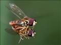 Hoverflies Mating in Flight