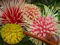 Pincushion Hakea, (Hakea Laurina)