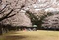 Sakura_Outing