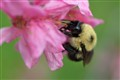 Busy Bumblebee