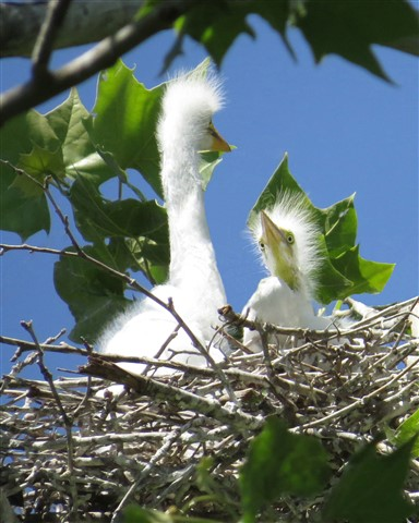 Egrets - New Born In The Nest