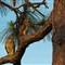 Hawks_in_Pine_Tree_Crop_9919