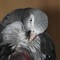 Parrot1 006