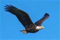 Bald Eagles with a Bloody Fish Under Tail