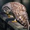 barred owl (1 of 1) (1)