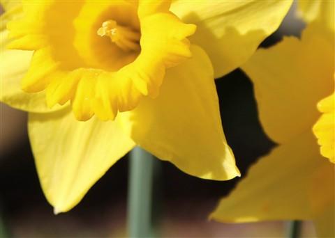 daffodil_crop