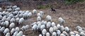 Sheep Dog and his charges