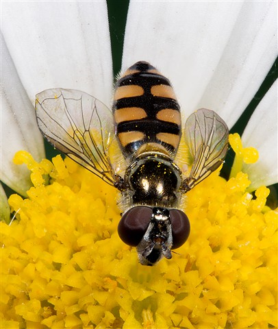 Hoverfly02