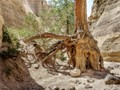 Tree Roots - Tent Rock, NM