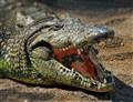 Crocodylidae - Southern Africa