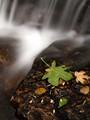Maple Leaf by Waterfall