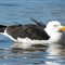 pacificgull