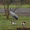 Common Crane and Common Shelducks