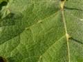 Fine on a leaf