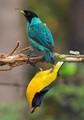 birds:Green Honeycreeper male! Chlorophanes spiza! Violaceous Euphonia male!Euphonia violacea! Atlantic rainforest, Morretes, Paraná, Brazil!
