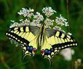 Lastin rep (Papilio machaon) - Swallowtail