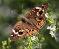 Common Buckeye – Junonia coenia