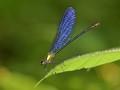 Common Flashwing