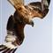 Red Kite IMG_0759