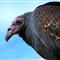vulture_1_FB