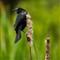 Chaikin_Ann_RedwingBlackbird