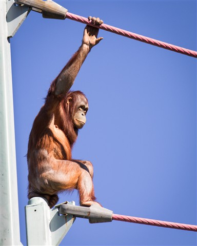 DC Zoo Orangutan Transport System (the O Line)_